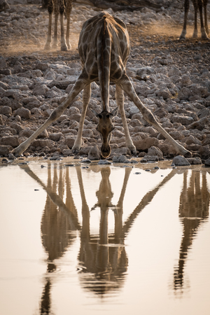 Drinking Giraffe with its Reflection at Waterhole in Etosha
