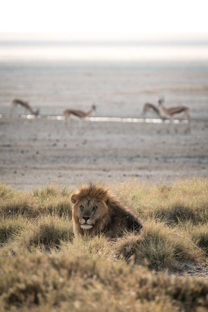 Lion and Springbok at Sunrise at Etosha National Park