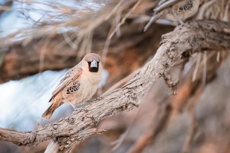 Sociable Weaver Bird on a Branch