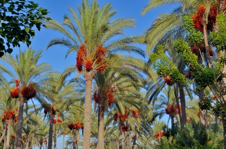Palm trees and red dates photo