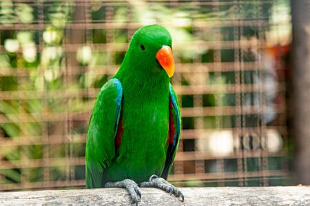 Eclectus parrot has naturally beautiful feathers
