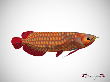 arowana: red arowana fish on white background