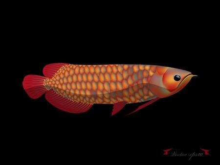 arowana: red arowana fish on black background Illustration