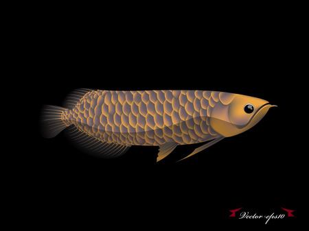 arowana: arowana fish vector Illustration