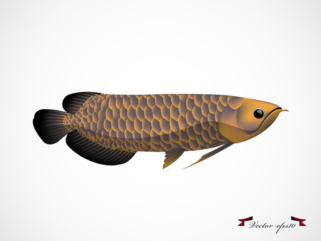 arowana: arowana fish vector Illustration