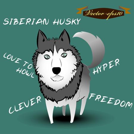 �siberian husky�: siberian husky dog cartoon vector