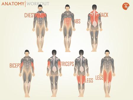 ジムでのワークアウトのための解剖学の美しいデザインから成っている胸、腹筋、背中、上腕二頭筋、上腕三頭筋、足、ボディ ビルディングのコンセプト