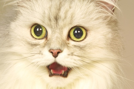 big mouth: Close-up of surprised cat