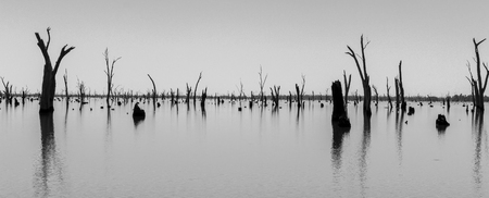 black and white Picture of dead tree trunks sticking out of the water,NRW, Australia Stok Fotoğraf