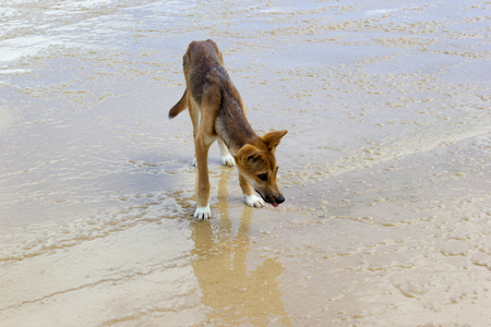 Dingo on the beach in Great Sandy National Park, Fraser Island Waddy Point, QLD, Australia.
