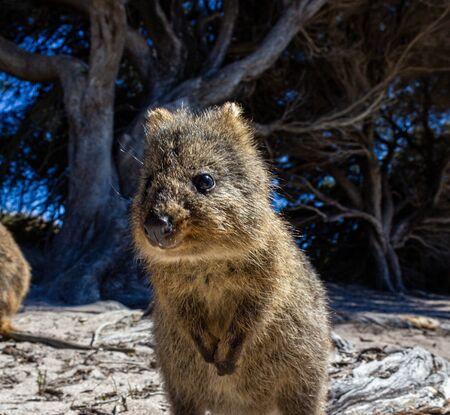 Australian Quokka on rottnest island, Perth, Australia