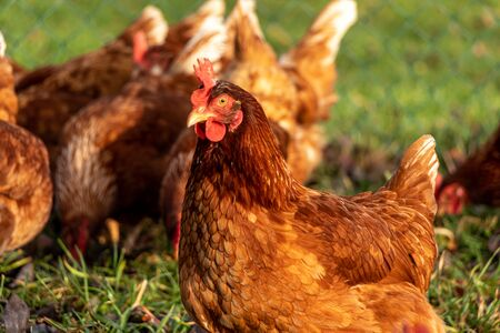 Free range organic chickens poultry in a country farm Banco de Imagens