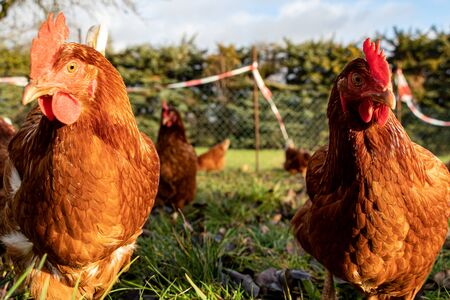 Free range organic chickens poultry in a country farm Stok Fotoğraf