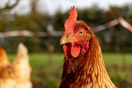 close up of a brown hen on an organic free range chicken farm Stok Fotoğraf
