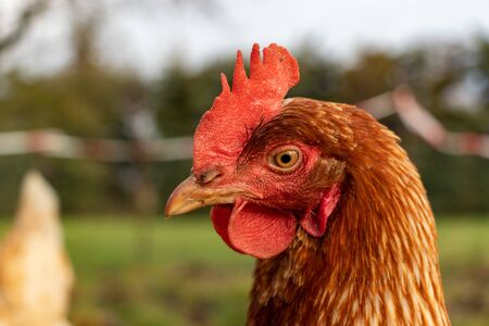 close up of a brown hen on an organic free range chicken farm, Germany