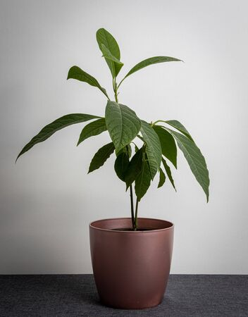 Young avocado sprout with leaves in rose gold pot isolated on grey background.