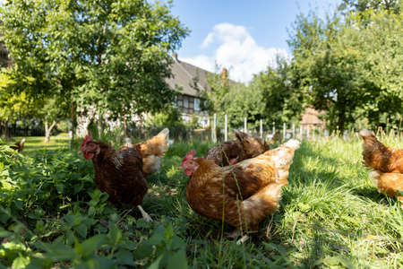 Free range organic chickens poultry in a country farm, germany