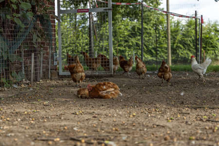 Free range organic chickens bathing in dirt. poultry in a country farm, germany