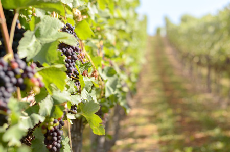 viticulture: View down the length of a row of vines of bunches of ripening red grapes in a vineyard with selective focus and copy space for viticulture themes