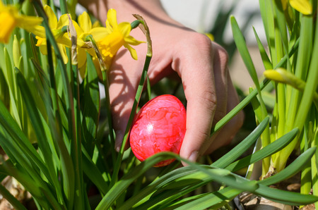 Young man hiding a colorful red Easter egg in a clump of bright yellow spring daffodils outdoors in a pot in the garden for the traditional kids egg hunt to celebrate the holiday season