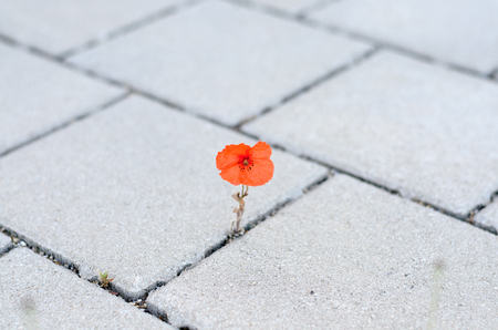 Single colorful red corn poppy sprouting between cement paving stones in spring in a concept of adaptability and survival