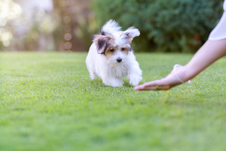 A cute puppy being trained by its owner and rewarded with food in a vibrant, summer backyard setting. Фото со стока