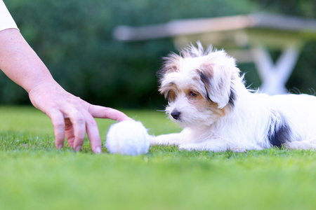A playful, cute puppy plays fetch with owner on vibrant green grass in a backyard, summer setting.
