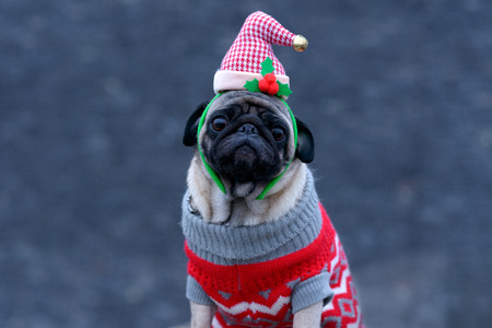 Cute dog wearing knitted winter clothes and funny Santa hat while looking at camera with attention and loyalty outdoors