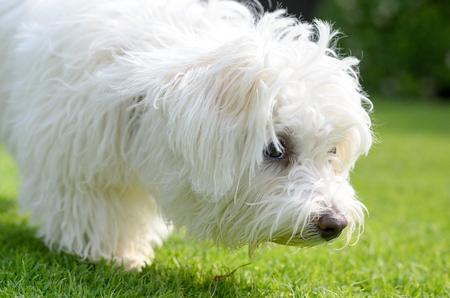 An adorable, curious puppy sniffing on green grass in a vibrant, summer backyard setting in a close up view