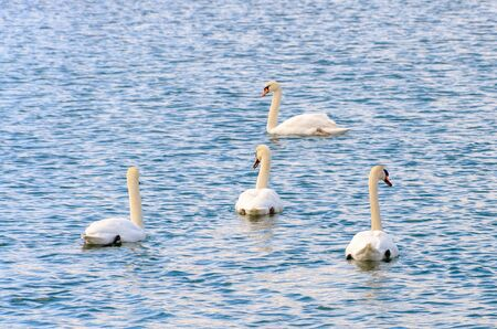 Four white mute swans swimming together away from the camera on rippling water