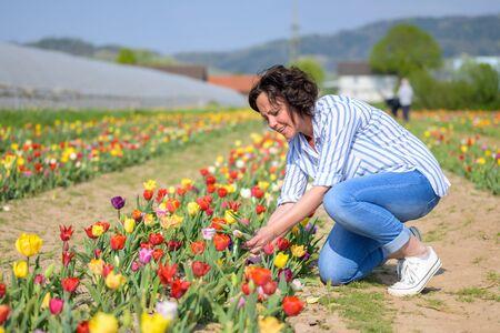 Jolie femme hispanique cueillant des tulipes dans un champ pendant la récolte annuelle accroupie Banque d'images