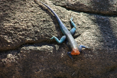 multi national: agama on the rock Stock Photo