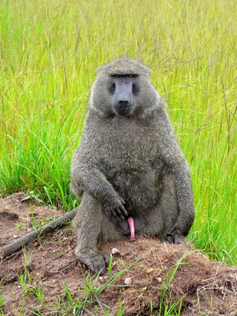 baboon found in Tanzania photo
