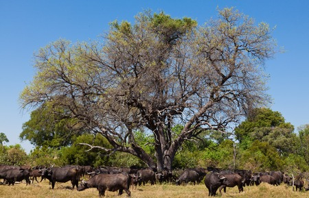 A big big buffalo of the Tanzania photo