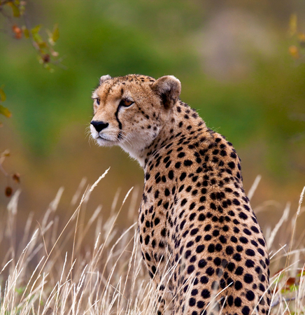 cheetah: guepardo Foto de archivo