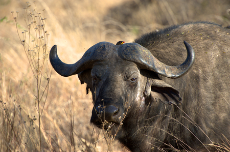 buffalo in the national park photo