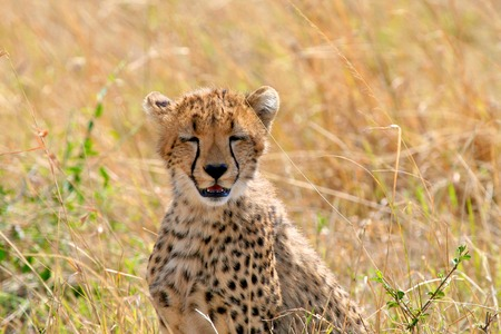 Cheetah in the park photo