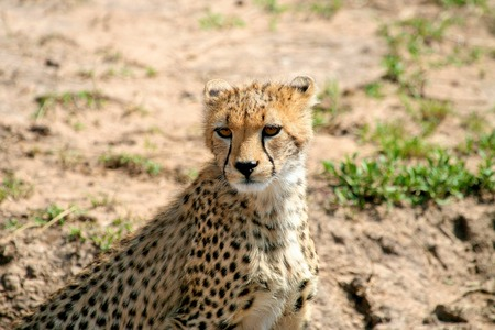veldt: Cheetah in the park