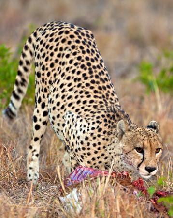 Cheetah in the park photo
