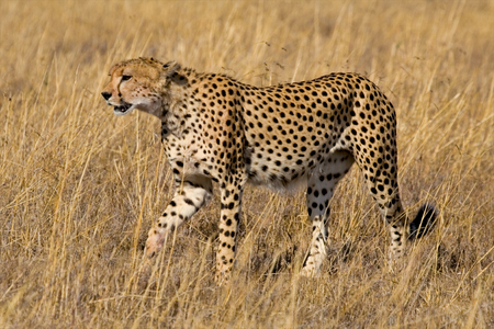 Cheetah stalking through open grassland in search of prey photo