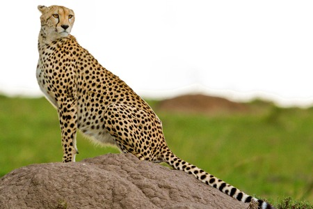game reserve: Cheetah in the park