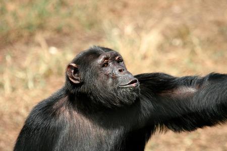 ngamba: Chimpanc�, tiro de la fauna, el Parque Nacional de Gombe, Tanzania