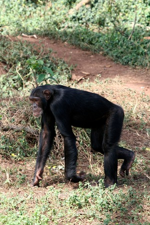 ngamba: Chimpanzee, wildlife shot, Gombe National Park,Tanzania Stock Photo