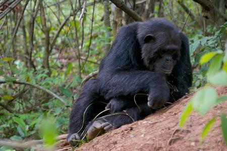 chimpanzee in the Gombe stream National Park Stock Photo