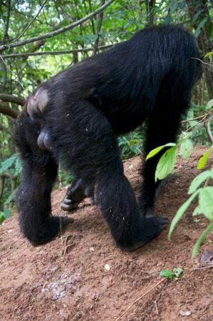 chimpanzee: chimpanzee in the Gombe stream National Park Stock Photo