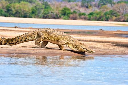 game reserve: nile crocodile Stock Photo