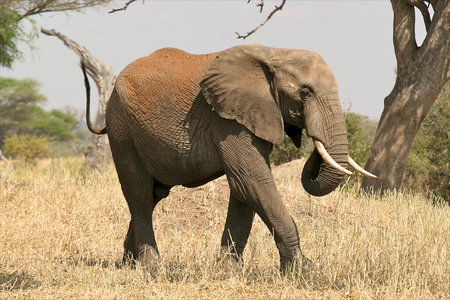 elephant in the wild photo