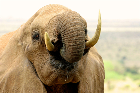 african elephant drinking water photo
