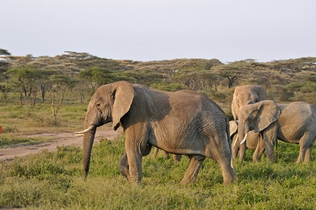 elephant, tusk and herd photo