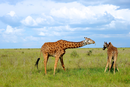 giraffe in the wild photo